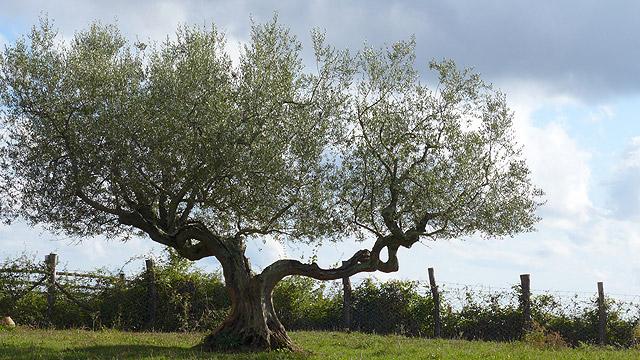 oliviers et huile d olive dans le chianti en toscane villa le barone magazine. Black Bedroom Furniture Sets. Home Design Ideas