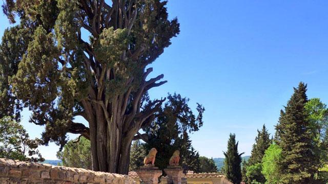 Un cyprès plus que centenaire près de Villa le Barone dans le Chianti