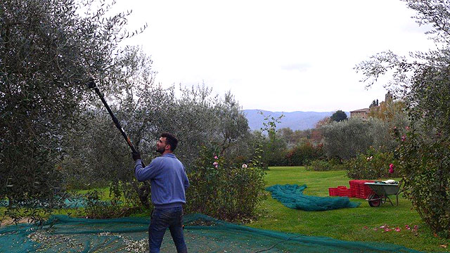 Récolte des olives à Villa le Barone dans le Chianti